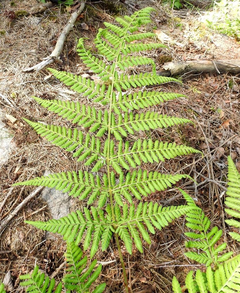 Dryopteris dilatata - etelänalvejuuren lehtilavan sivulehdykät ovat keskirangalla vastakkain tai vuoroittain järjestyksen vaihtuessa samassakin lehdessä. Alimman parin sivulehdykät ovat epäsymmetrisesti kapean kolmiomaiset ja muut parit pitkulaisen kapeanpuikeat tai leveänsuikeat. Lehdet ovat yleensä tummahkonvihreät, mutta avohakkuun vuoksi suoraan aurinkoon jääneiden yksilöiden lehdet ovat poikkeuksellisesti vaaleanvihreitä. U, Kirkkonummi, Porkkala, Tullandintien varsi, Gloet-lammen ja kapean Långviken-merenlahden välinen kapea kannas, 27.7.2017. Kuva Copyright Hannu Kämäräinen.