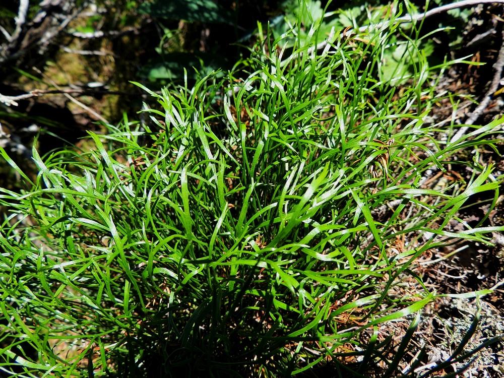 Asplenium septentrionale - liuskaraunioisen lehdet ovat vihreät, nahkeat ja talvehtivat. Lehtilapa on niin muuntelevasti kapealiuskainen, että siitä on isommassa lehtijoukossa vaikea saada kokonaiskuvaa. V, Salo, Särkisalo, Förby, merenrantaan ja venesatamaan päättyvän maantien 1823 länsipää, maantien pohjoispuolelta nouseva kalkkikallioalue, luonnonsuojelualue, 11.7.2014. Copyright Hannu Kämäräinen.
