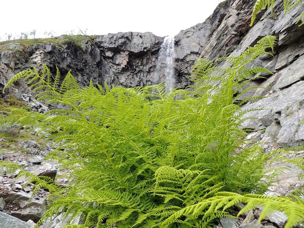 Athyrium distentifolium - tunturihiirenportaan kasvupaikaksi näyttää riittävän silkka kalliopintakin, kunhan jostakin kolosta tai halkeamasta löytyy riittävästi tilaa ja maannosta maavarrelle. EnL, Enontekiö, Kilpisjärvi, Mallan luonnonpuisto, Iso-Mallan eteläinen alarinne Kitsijoen Kitsiputouksen juurella, 645-650 m mpy, 19.7.2013. Copyright Hannu Kämäräinen.