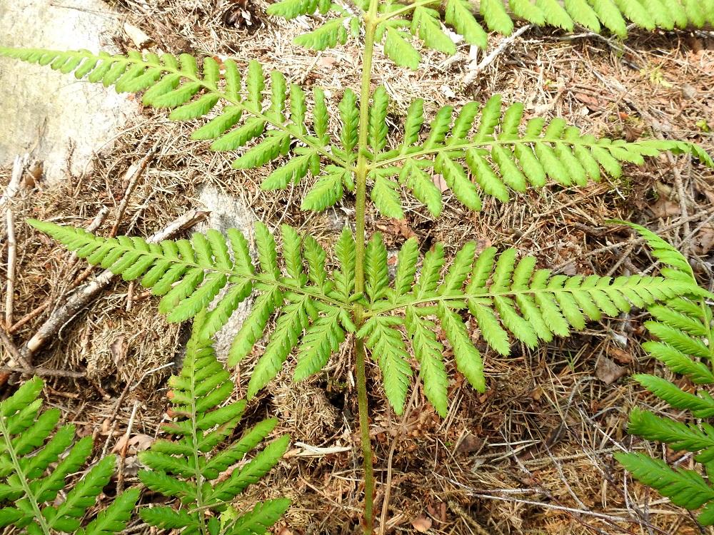 Dryopteris dilatata - etelänalvejuuren lehtilavan alimman parin sivulehdykät ovat tavallisesti noin 10-18 cm pitkät ja leveimmältä kohtaa noin 6-8 cm leveät. Niiden ensimmäinen, alapuolinen pikkulehdykkä on pituudeltaan noin kolmasosa koko sivulehdykän pituudesta. Lähilajilla isoalvejuurella, D. expansa, vastaava pikkulehdykkä on noin puolet koko sivulehdykän pituudesta. Aika usein etelänalvejuuren ensimmäinen, alapuolinen pikkulehdykkä on hieman lyhyempi kuin 1-2 seuraavaa alapuolista pikkulehdykkää. U, Kirkkonummi, Porkkala, Tullandintien varsi, Gloet-lammen ja kapean Långviken-merenlahden välinen kapea kannas, 27.7.2017. Kuva Copyright Hannu Kämäräinen.
