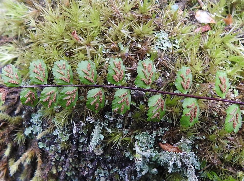 Asplenium trichomanes subsp. trichomanes - tummaraunioisen subsp. kalliotummaraunioisen itiöpesäkeryhmiä on tavallisesti 2-4 lehdykän molemmilla puoliskoilla. Ne ovat ennen itiöintiä tasasoukkia, alle 0,5 mm leveitä ja enintään noin 2 mm pitkiä. Niitä peittää koko pesäkeryhmän mittainen, vaalea, kalvomainen katesuomu, joka on kiinnittynyt lehdykän laidan puoleiselta reunaltaan. Suomu avautuu ja kääntyy kypsymisvaiheessa itiöpesäkeryhmän sivulle. Kypsät itiöpesäkeryhmät muuttuvat ruskeiksi ja laajenevat, mutta eivät yleensä yhdy toisiinsa, vaan pysyvät erillisinä. V, Salo, Suomusjärvi, Salittu, Ahvenlammentien varrella olevat kallioseinämät, luonnonsuojelualue, 12.6.2021. Copyright Hannu Kämäräinen.