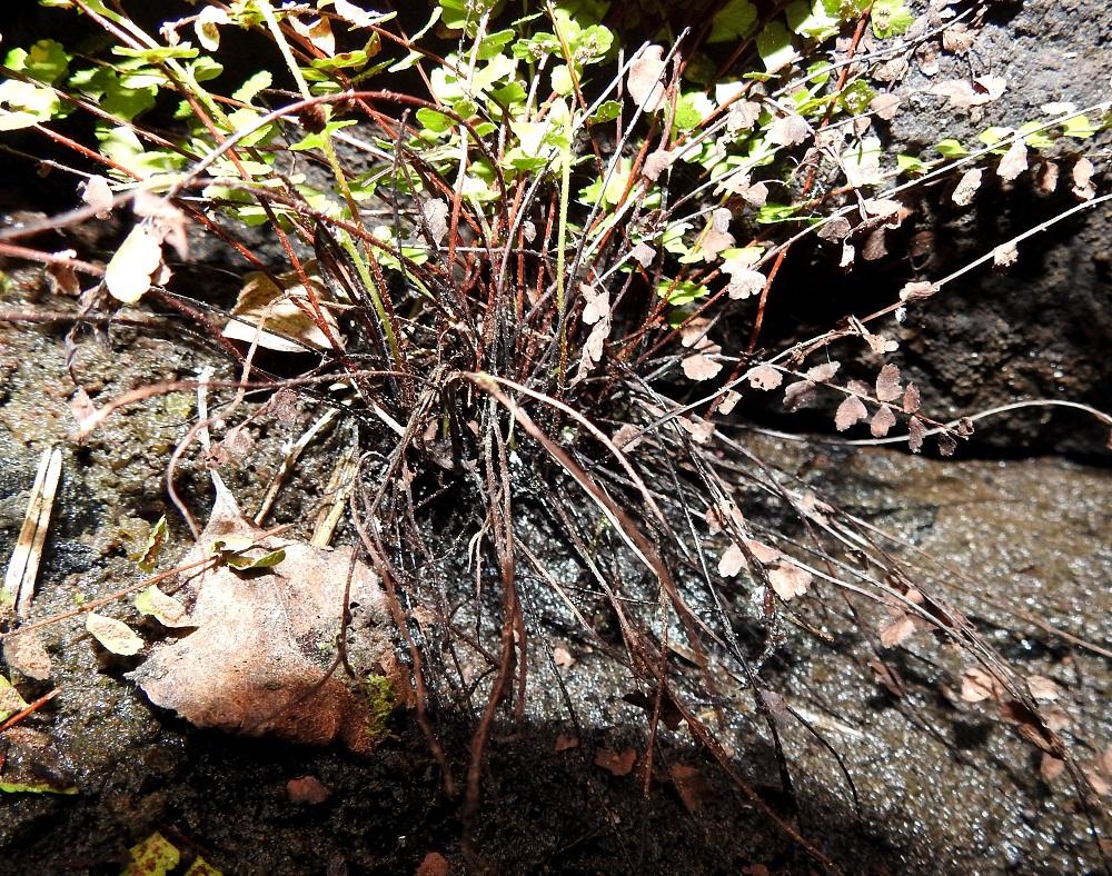 Asplenium adulterinum - serpentiiniraunioisen lehtiruoti on tummanruskea tai tumman punaruskea ja karvamaisen kapeasuomuinen. Se on yleensä noin 3-7 cm pitkä ja noin 1/3 koko lehden pituudesta. V, Salo, Suomusjärvi, Salittu, Ahvenlammentien varrella oleva kallioseinämä, luonnonsuojelualue, 12.6.2021. Copyright Hannu Kämäräinen.