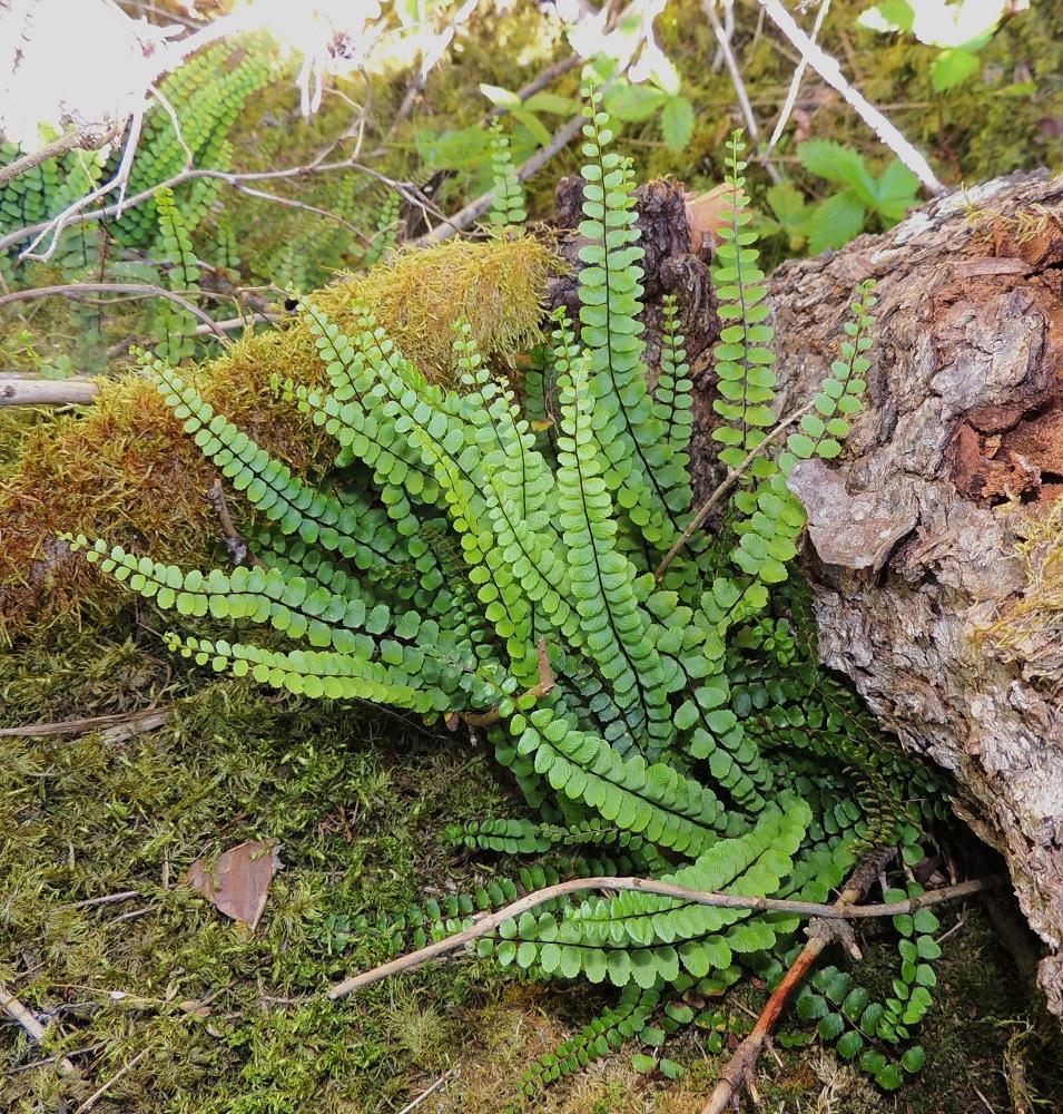 Asplenium trichomanes subsp. quadrivalens - tummaraunioisen subsp. kalkkitummaraunioisen sivulehdykät ovat erityisesti lehtilavan keskiosassa usein lähes tai aivan vastakkain ja hyvin tiheästi. Malliltaan ne ovat pitkulaiset. V, Salo, Särkisalo, Förby, merenrantaan päättyvän maantien pohjoispuolelta nouseva kalkkikallioalue, luonnonsuojelualue, 11.7.2014. Copyright Hannu Kämäräinen.