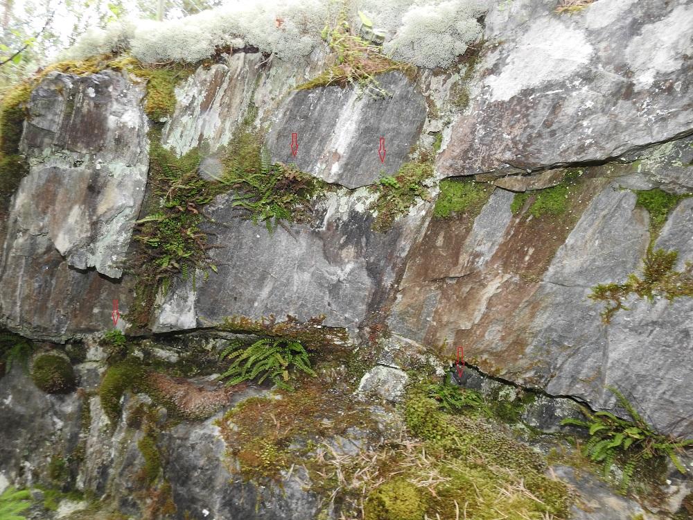Asplenium ruta-muraria - seinäraunioinen kasvaa vain kalkkipitoisella alustalla ja useimmiten kalkkikallioiden raoissa. Kuvassa näkyvämpänä seuralaisena on kalkkitummaraunioinen, A. trichomanes subsp. quadrivalens. V, Salo, Perniö, Lupaja, Alhonmäki, luonnonsuojelualue, vanha kalkkikivenlouhintakuoppa, 12.6.2021. Copyright Hannu Kämäräinen.