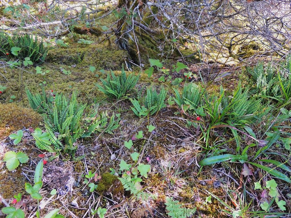 Asplenium trichomanes subsp. quadrivalens - tummaraunioinen subsp. kalkkitummaraunioinen on Suomessa harvinainen, lounaisosaan painottuva alalaji, joka kasvaa vain kalkkikallioilla. V, Salo, Särkisalo, Förby, merenrantaan päättyvän maantien pohjoispuolelta nouseva kalkkikallioalue, luonnonsuojelualue, 11.7.2014. Copyright Hannu Kämäräinen.