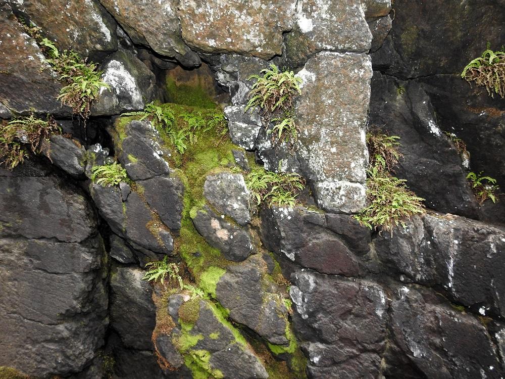 Asplenium adulterinum - serpentiiniraunioinen viihtyy vain ultraemäksisillä kalliopinnoilla, joissa se hakeutuu yleensä jyrkkien rinteiden ja seinämien varjoisiin koloihin ja halkeamiin. Lajin tarkkoja kasvupaikka- tai kallioperävaatimuksia ei kuitenkaan tunneta. Jostain syystä se puuttuu kokonaan Pohjois-Suomesta, vaikka siellä on pääosa koko maan ultraemäksisistä kallioista. Koko maan yksilömäärä on 2012 julkaistun tiedon mukaan noin 1 700, josta noin puolet on kuvan kalliolla. V, Salo, Suomusjärvi, Salittu, Ahvenlammentien varrella oleva kallioseinämä, luonnonsuojelualue, 12.6.2021. Copyright Hannu Kämäräinen.