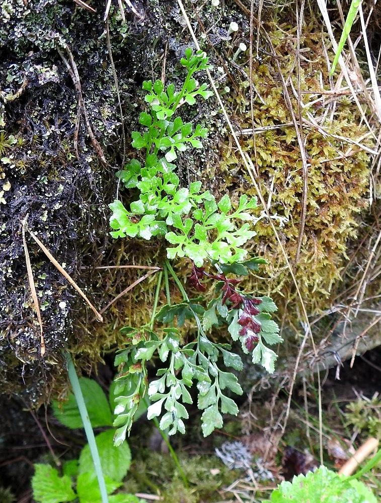 Asplenium ruta-muraria - seinäraunioinen muodostaa pieniä lehtituppaita. Lehdet ovat yleensä noin 5-15 cm pitkiä. Uudet, pystynä kohoavat lehdet ovat vaaleamman vihreitä ja muuttuvat ikääntyessään tummemmiksi. V, Salo, Perniö, Lupaja, Alhonmäki, luonnonsuojelualue, vanha kalkkikivenlouhintakuoppa, 12.6.2021. Copyright Hannu Kämäräinen.