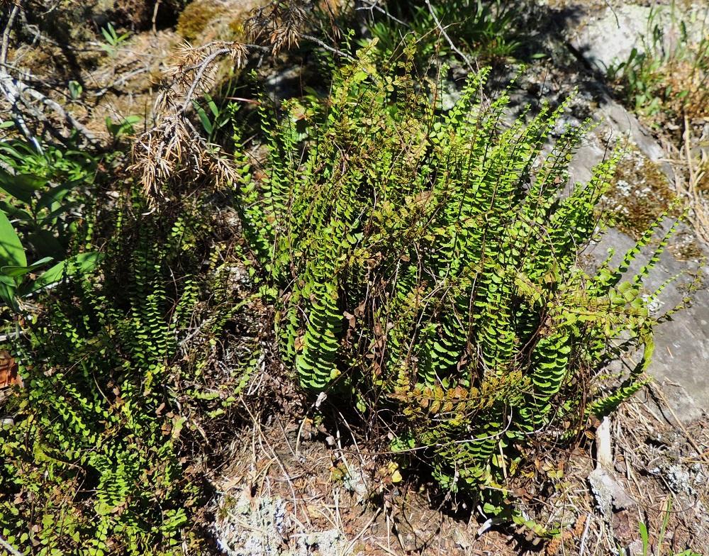 Asplenium trichomanes subsp. quadrivalens - tummaraunioisen subsp. kalkkitummaraunioisen sivulehdykät ovat lavan keskiosassa pitkältä matkaa hyvin tiheästi, kun nimialalajilla, kalliotummaraunioisella, subsp. trichomanes, lehdykät ovat harvemmassa. Paahteisella paikalla itiöimään valmistautuvat lehdykät kääntyvät usein lähes vaakatasoon. V, Salo, Särkisalo, Förby, merenrantaan päättyvän maantien pohjoispuolelta nouseva kalkkikallioalue, luonnonsuojelualue, 11.7.2014. Copyright Hannu Kämäräinen.