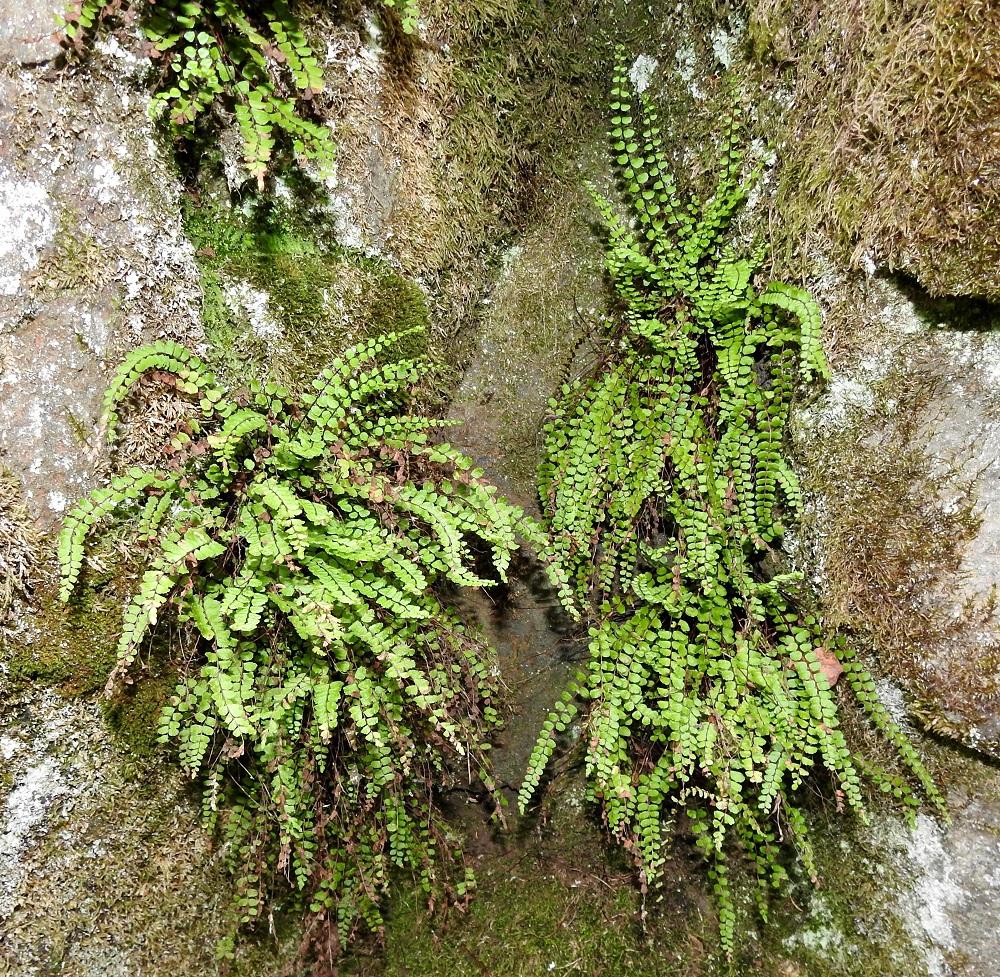 Asplenium trichomanes subsp. trichomanes - tummaraunioisen subsp. kalliotummaraunioisen lehdet ovat tavallisesti noin 10-30 cm pitkiä ja erityisesti kallioseinämillä ne ovat vaihdellen pystyjä, kaarevia tai roikkuvia. Lehtilapa on tasasoukka tai hieman suikea ja kärkeä kohti suippeneva. Se on leveimmältä kohtaa yleensä noin 0,8-1,5 cm leveä. V, Salo, Suomusjärvi, Salittu, Ahvenlammentien varrella olevat kallioseinämät, luonnonsuojelualue, 12.6.2021. Copyright Hannu Kämäräinen.