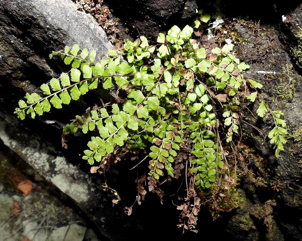 Asplenium adulterinum - serpentiiniraunioinen on aikanaan syntynyt kalliotummaraunioisen, A. trichomanes subsp. trichomanes ja viherraunioisen, A. viride, risteytymisen tuloksena. Helpoiten havaittava ero muinaisiin kantalajeihin löytyy lehtilavan keskirangasta, jonka kärkikolmannes (joskus vähän enemmänkin) on vihreä. Viherraunioisella koko keskiranka on vihreä ja tummaraunioisella kärkinipukkaa lukuun ottamatta ruskea. V, Salo, Suomusjärvi, Salittu, Ahvenlammentien varrella oleva kallioseinämä, luonnonsuojelualue, 12.6.2021. Copyright Hannu Kämäräinen.