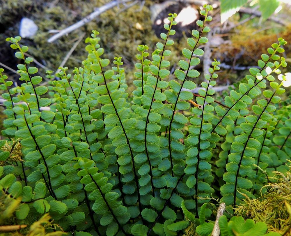 Asplenium trichomanes subsp. quadrivalens - tummaraunioisen subsp. kalkkitummaraunioisen ruoti ja koko keskiranka kasvavaa noin 1-10 mm:n kärkeä lukuun ottamatta ovat mustanruskeat tai tumman punaruskeat. Tässä ominaisuudessa ei ole varsinaista eroa alalajien välillä. Serpentiiniraunioisella, A. adulterinum, keskirangan kärkikolmannes on vihreä ja viherraunioisella, A. viride, puolestaan koko lavan keskiranka on vihreä. V, Salo, Särkisalo, Förby, merenrantaan päättyvän maantien pohjoispuolelta nouseva kalkkikallioalue, luonnonsuojelualue, 11.7.2014. Copyright Hannu Kämäräinen.