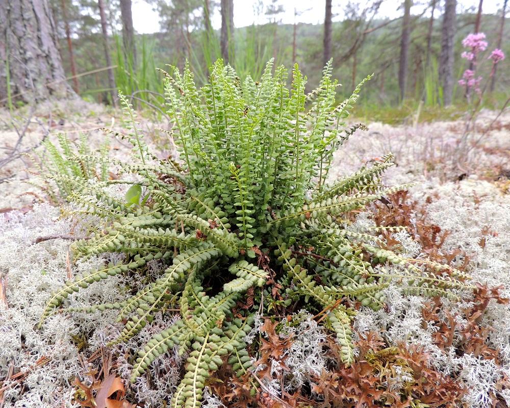 Asplenium viride - viherraunioisen lehdet ovat tavallisesti noin 7-20 cm pitkiä. Kuvan mättäässä uudet, kuluvan vuoden lehdet ovat keskellä pystyssä ja suurelta osin hyvin talvehtineet edellisen vuoden lehdet ovat tyvellä lähes oikosenaan. Kuvan oikeassa yläkulmassa häämöttää seuralaisena ultraemäksisiltä kallioilta harvinaisena tavattava serpentiinipikkutervakko, Viscaria alpina var. serpentinicola. Kn, Paltamo, Mieslahti, Talolanmäki, Oulujärven Pitkäperän itärannalla oleva Matokallio, 11.7.2015. Copyright Hannu Kämäräinen.