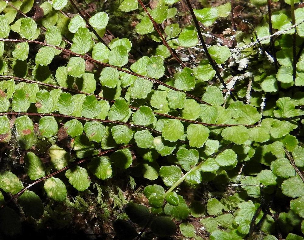 Asplenium trichomanes subsp. trichomanes - tummaraunioisen subsp. kalliotummaraunioisen lehtilavan sivulehdykät ovat usein hieman koverat, kun ne kalkkitummaraunioisella, subsp. quadrivalens, ovat yleisimmin hieman kuperat. Lehdyköitä erottaa myös selvä väli. V, Salo, Suomusjärvi, Salittu, Ahvenlammentien varrella olevat kallioseinämät, luonnonsuojelualue, 12.6.2021. Copyright Hannu Kämäräinen.