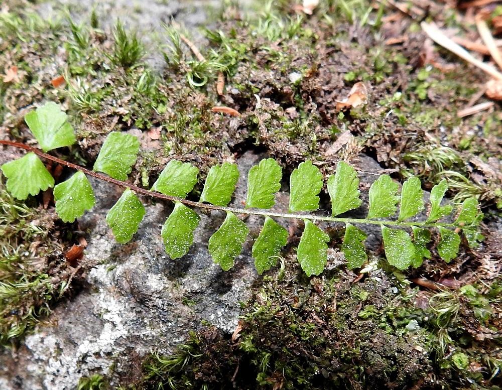 Asplenium adulterinum - serpentiiniraunioisen lehtilavan sivulehdykät ovat lähes ruodittomia, puikeita, pyöreähköjä tai alimmat (kuvan vasen laita) toisinaan melkein viuhkamaisia ja tyveltään leveähkön kiilamaisia sekä aika symmetrisiä. Lehdykän laita on ehyttä kiilamaista tyviosaa lukuun ottamatta pyöreähampainen tai nyhälaitainen. Pituutta lehdyköillä on tavallisesti noin 4-8 mm ja leveyttä leveimmältä kohtaa noin 3-7 mm. Kuvassa lehdyköiden pinnalla ei näy nystykarvoitusta vaan sienikasvusto on käynyt jo edelliseltä vuodelta talvehtineen lehden kimppuun. Keskirangan yläpinnan reunoilla ovat epäselvät harjanteet, mutta siipipalteiksi niitä ei voi sanoa. V, Salo, Suomusjärvi, Salittu, Ahvenlammentien varrella oleva kallioseinämä, luonnonsuojelualue, 12.6.2021. Copyright Hannu Kämäräinen.