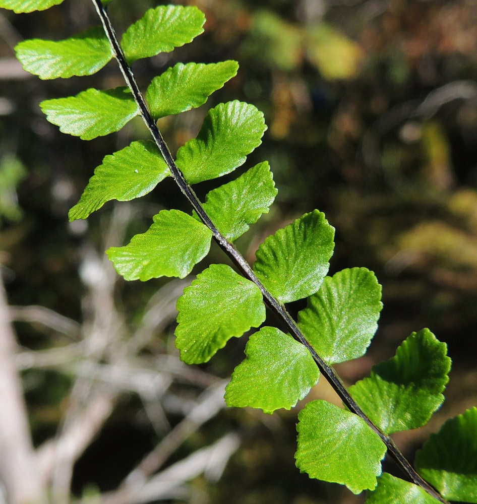 Asplenium trichomanes subsp. quadrivalens - tummaraunioisen subsp. kalkkitummaraunioisen lehtiruoti ja lavan keskiranka ovat kapeasti vaalean siipipalteiset. Näin on myös kalliotummaraunioisella, subsp. trichomanes. Sen sijaan viherraunioisella, A. viride ja serpentiiniraunioisella, A. adulterinum, ne ovat palteettomat. V, Salo, Särkisalo, Förby, merenrantaan päättyvän maantien pohjoispuolelta nouseva kalkkikallioalue, luonnonsuojelualue, 11.7.2014. Copyright Hannu Kämäräinen.
