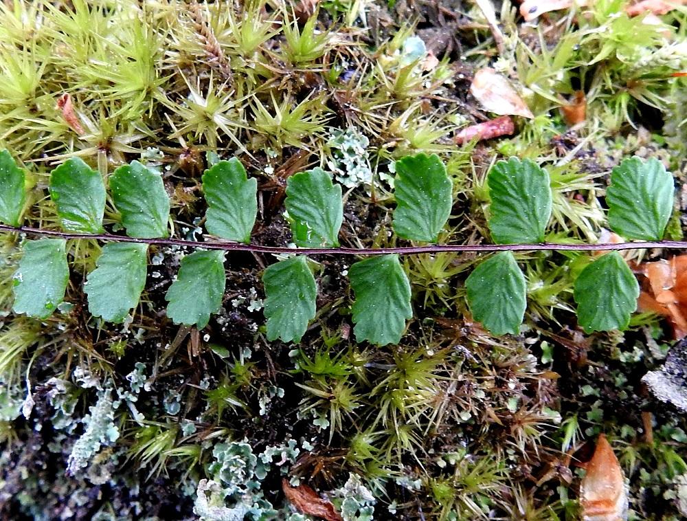 Asplenium trichomanes subsp. trichomanes - tummaraunioisen subsp. kalliotummaraunioisen lehtilapa on kertaalleen parilehdykkäinen. Lehdykät ovat useimmiten vuoroittain. Ne ovat lähes ruodittomia, pyöreähköjä ja laidoiltaan selvästi pyöreähköhampaisia. Pituutta lehdyköillä on tavallisesti noin 2,5-7,5 mm ja leveyttä leveimmältä kohtaa noin 2-6 mm. Pituus on noin 1,3-1,5-kertainen leveyteen nähden. Lavan keskiranka on päältä kouru ja laidoiltaan kapeasti vaalean siipipalteinen. V, Salo, Suomusjärvi, Salittu, Ahvenlammentien varrella olevat kallioseinämät, luonnonsuojelualue, 12.6.2021. Copyright Hannu Kämäräinen.