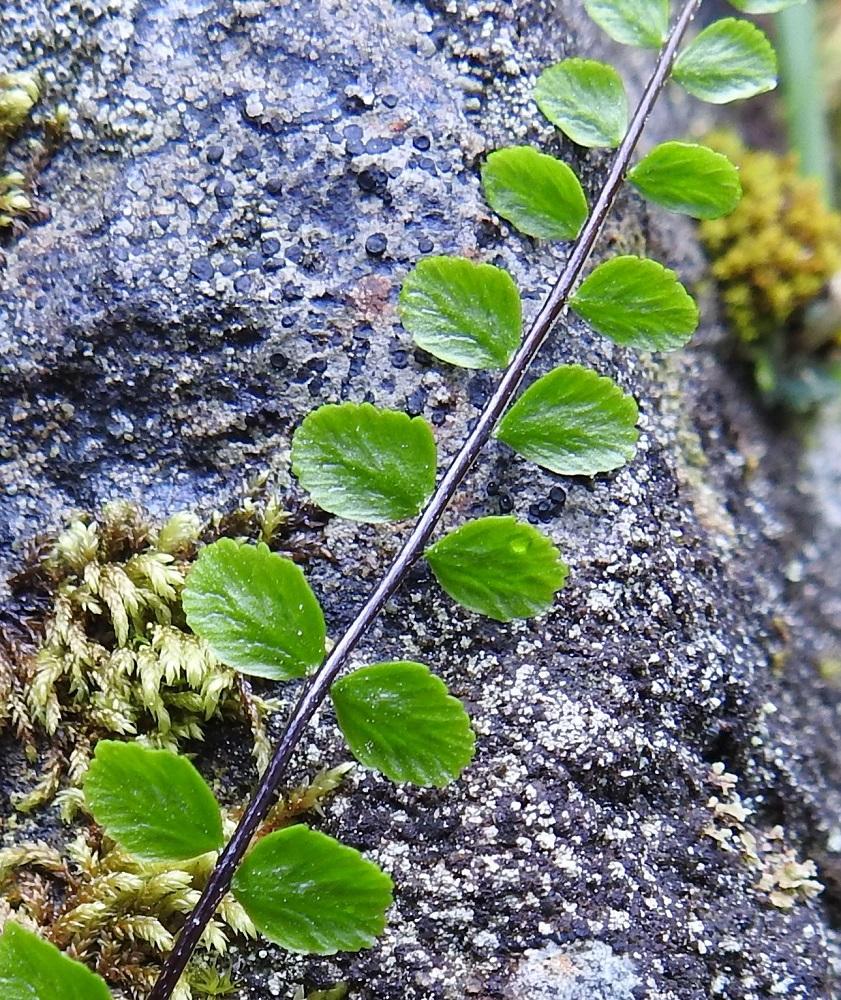 Asplenium trichomanes subsp. trichomanes - tummaraunioisen subsp. kalliotummaraunioisen nuoren, uuden lehden sivulehdykät ovat vaihtelevasti nystykarvaisia. Lehdykät kaljuuntuvat ikääntyessään. Kalliotummaraunioisen lehdyköiden tyvi on leveämmän tai kapeamman kiilamainen ja lähes tai aivan symmetrinen. Kalkkitummaraunioisella, subsp. quadrivalens, lehdyköiden tyvi on suorakulmainen tai leveän kiilamainen sekä ainakin jossain määrin epäsymmetrinen. V, Salo, Suomusjärvi, Salittu, Ahvenlammentien varrella olevat kallioseinämät, luonnonsuojelualue, 12.6.2021. Copyright Hannu Kämäräinen.