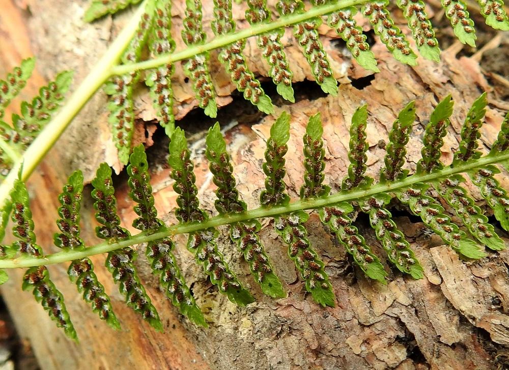 Athyrium filix-femina - soreahiirenportaan noin 1 mm pitkät itiöpesäkeryhmät sijaitsevat yksittäin pikkulehdyköiden sivuliuskojen ja hampaiden keskisuonessa. Pesäkeryhmää suojaava katesuomu on vain toisesta reunastaan kiinnittynyt ja itiöpesäkkeiden kypsyessä se avautuu ja kaareutuu sivulle. EH, Hämeenlinna, Loimalahti, Hirsimäki, omakotialueen ja maakaasulinjan välisen, metsän reuna, 8.7.2021. Copyright Hannu Kämäräinen.