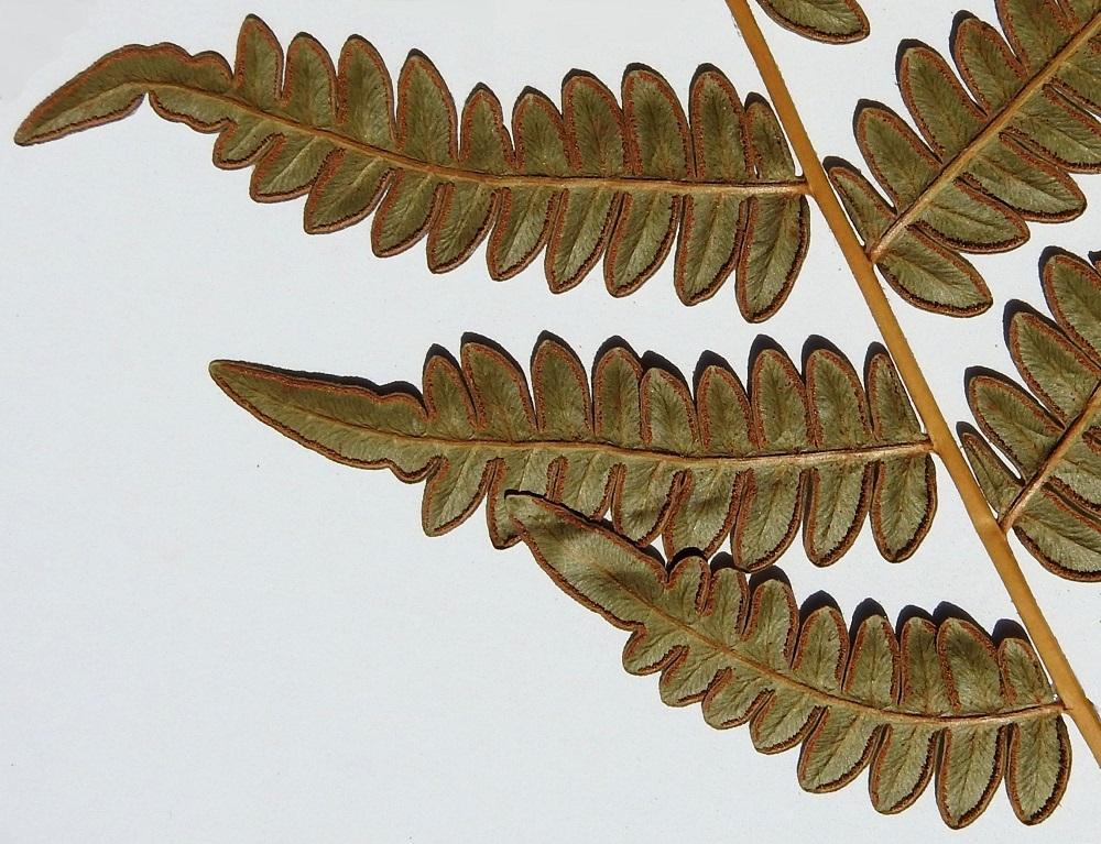 Pteridium pinetorum - taigasananjalan harvoin kehittyvät itiöpesäkeryhmät sijaitsevat uloimpien pikkulehdyköiden alaskiertyneen laidan suojassa niin, että itiöpesäkkeet voivat kiertää yhtenäisenä nauhana koko lehdykän. Varsinainen katesuomu usein puuttuu tai se on lähes huomaamaton. Kalvomainen lehtilaita muodostaakin ns. valekatesuomun, jonka reunan alta kypsyvät itiöpesäkkeet näkyvät ruskeana nauhana. A, Eckerö, Björnhuvud, Östergård, merenrantametsä, 20.7.1988. Kuva näytteestä copyright Hannu Kämäräinen.