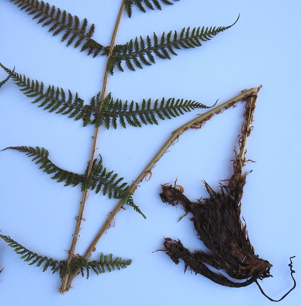 Athyrium filix-femina - soreahiirenportaan lehtiruodin pituus vaihtelee lähes samanpituisissakin lehdissä ollen usein noin 10-30 cm. Sen tyvi on mustanruskea ja tiheästi tummanruskeiden suomujen peittämä. Ylempää ruoti on tuoreena kellanvihreä tai kellanruskea ja harvakseen tai tiheämmin kapea- ja vaaleanruskeasuomuinen. Maavarsi on lyhyt, pysty, juurehtiva ja mustanruskea sekä vanhojen, suomuisten lehdentyvien tiheästi peittämä (näytteessä on vain maavarren pieni kulma). EH, Hämeenlinna, Loimalahti (kaupunginosa), Hirsimäki, omakotialueen ja maakaasulinjan välinen, välisen, kuusivaltaisen metsän raja, 20.7.2009. Kuva näytteestä, copyright Hannu Kämäräinen.