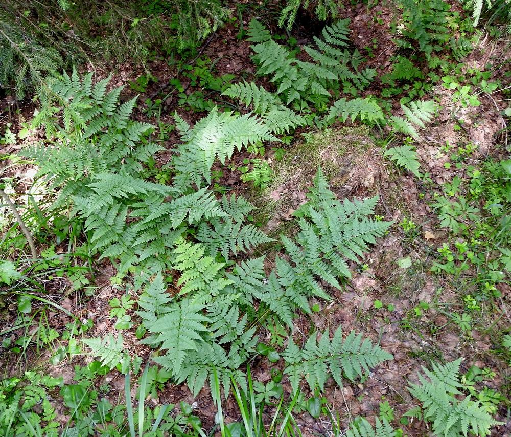 Dryopteris carthusiana - metsäalvejuuriyksilöt voivat kasvaa pienissä ryhmissä, mutta se ei yleensä muodosta yhtä tiheitä ja laajoja kasvustoja kuin lähilajinsa isoalvejuuri, D. expansa. EH, Hämeenlinna, Loimalahti, Hirsimäki, kuusivaltainen metsä omakotialueen ja maakaasulinjan välissä, 17.6.2021. Copyright Hannu Kämäräinen.