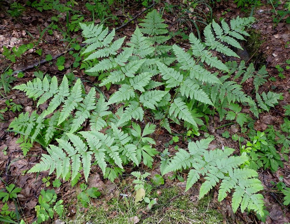 Dryopteris carthusiana - metsäalvejuuren lehdet ovat malliltaan kapeanpuikeita ja pitkäsuippuisen teräväkärkisiä. Lehtilapa on lähes kauttaaltaan kahteen kertaan parilehdykkäinen. Osa lehdistä on itiöpesäkkeettömiä ja talvehtivia sekä osa itiöpesäkkeellisiä ja talveksi lakastuvia. Itiöpesäkkeettömät lehdet ovat usein pienempiä ja kuvan tavoin enemmän ulospäin siirottavia. EH, Hämeenlinna, Loimalahti, Hirsimäki, kuusivaltainen metsä omakotialueen ja maakaasulinjan välissä, 17.6.2021. Copyright Hannu Kämäräinen.