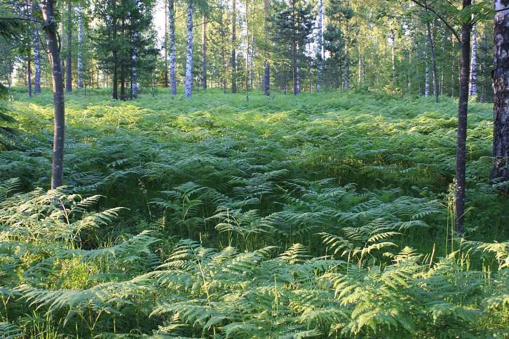 Pteridium pinetorum - taigasananjalka kasvattaa Suomessa harvoin itiöpesäkeryhmiä ja enimmäkseen laji levittäytyykin kasvustollisesti. Sen maavarsi on pitkä, haarova ja vaakatasoinen. Moneen kertaan risteävästi suikertavat maavarret voivat synnyttää hyvinkin laajoja ja tiheitä kasvustoja. ES, Imatra, Tainionkoski, leirintäalueen lähimetsä, 25.6.2009. Copyright Hannu Kämäräinen.