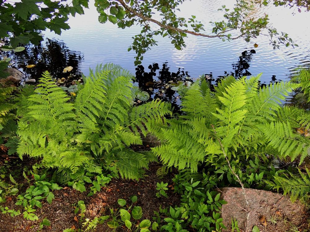 Athyrium filix-femina - soreahiirenporras voi metsämaaston lisäksi kasvaa myös lähellä vesirajaa. EH, Hämeenlinna, Renko, keskusta, Renkajoen ranta kirkkotarhan kohdalla, 22.7.2014. Copyright Hannu Kämäräinen.