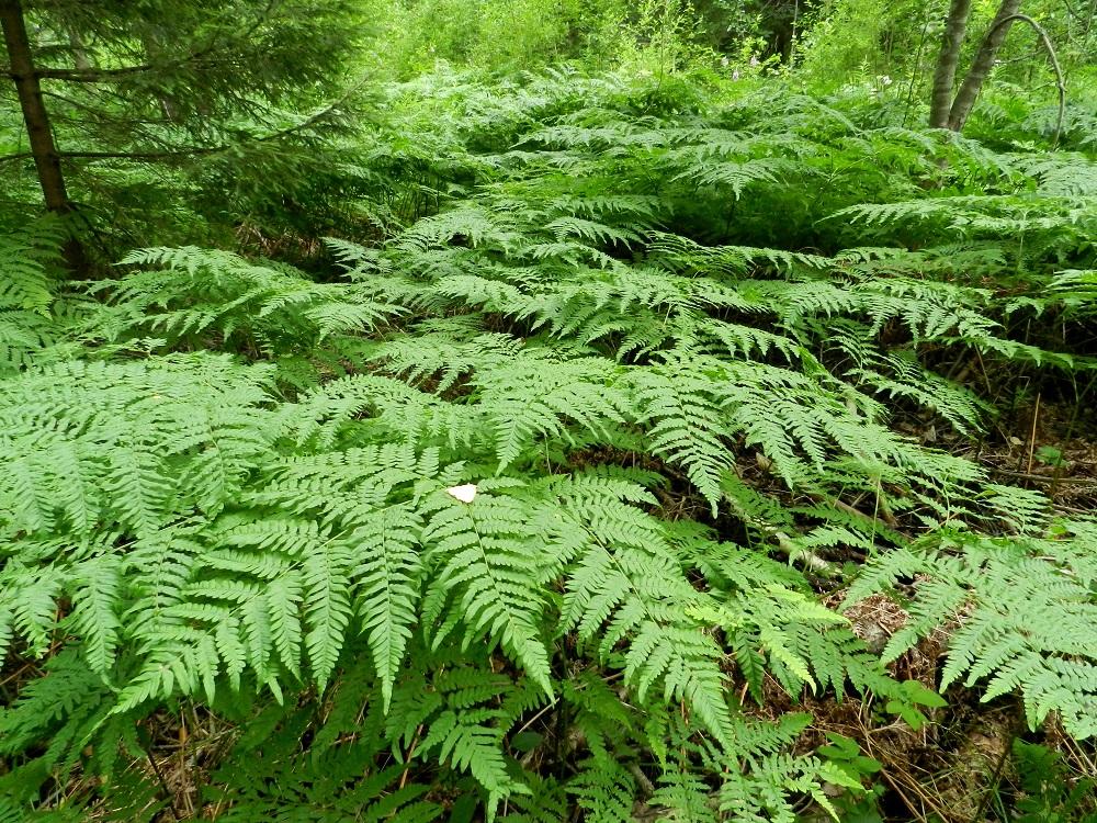 Pteridium pinetorum - taigasananjalan lehdet ovat tiheissä kasvustoissa limittäin ja moneen kertaan päällekkäin siepaten käyttöönsä lähes kaiken puiden lomasta saatavan valon. Se suosiikin harvapuustoisia metsiä, metsäaukioita ja hakkuualoja sekä kaikenlaisia pientareita. EH, Hämeenlinna, Loimalahden ja Kuuslahden kaupunginosien raja-alue, Hirsimäki, maakaasulinjan varsi, metsän reuna, 13.7.2011. Copyright Hannu Kämäräinen.