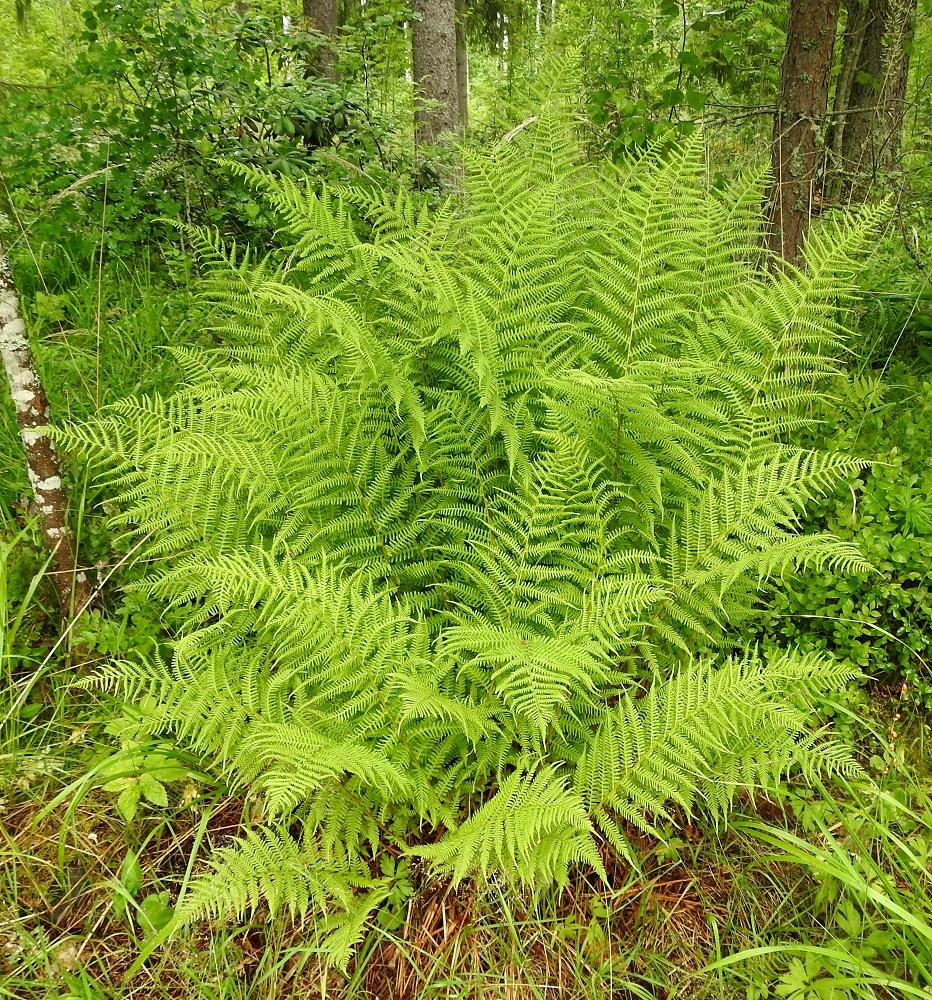 Athyrium filix-femina - soreahiirenporras on parhaimmillaan nimensä mukaisesti koristeellisen kaunis ja näyttävä saniainen, jota käytetään jonkin verran myös pihaistutuksissa. EH, Hämeenlinna, Loimalahti, Hirsimäki, omakotialueen ja maakaasulinjan välisen, metsän reuna, 8.7.2021. Copyright Hannu Kämäräinen.
