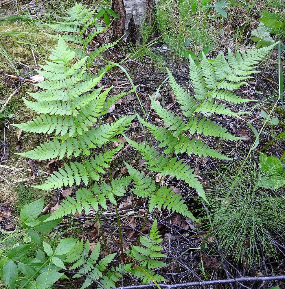 Dryopteris carthusiana - metsäalvejuuren lehtiruoti on noin 0,5-1 kertaa lehtilavan pituinen. Lavan sivulehdykät ovat vastakkain tai vuoroittain. Alimman parin sivulehdykät ovat hieman epäsymmetrisesti kolmiomaiset ja muut parit puikeat tai kapeanpuikeat. Alimmat sivulehdykät ovat tavallisesti noin 7-12 cm pitkät ja tyveltään noin 5-7 cm leveät. EH, Hattula, Retula, Keskisjärven länsipuolinen metsäalue, 18.6.2021. Copyright Hannu Kämäräinen.