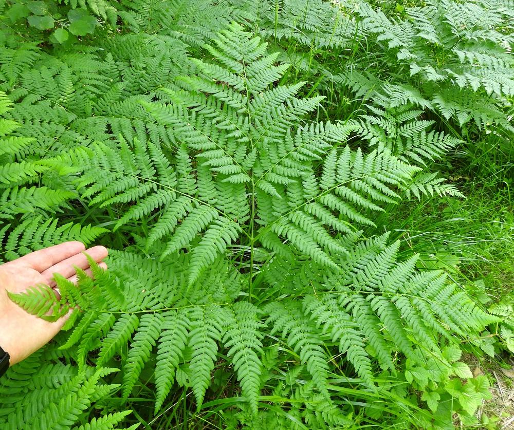 Pteridium pinetorum - taigasananjalan lehtilapa on yleensä leveän kolmiomainen, vaaleahkonvihreä ja tavallisesti noin 40-60 cm pitkä sekä tyveltään noin 45-70 cm leveä. Sen kärkiosa on kaksi kertaa parilehdykkäinen ja tyvipuolen kaksi tai kolme päälehdykkäparia ovat kolmeen kertaan parilehdykkäiset. EH, Hämeenlinna, Loimalahti, Hirsimäki, Vuokontien itäpuolinen metsäkaista, 22.6.2021. Copyright Hannu Kämäräinen.