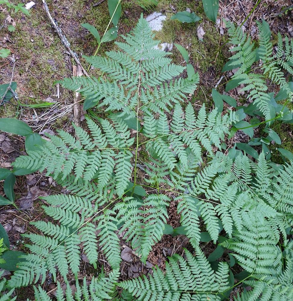 Pteridium pinetorum - taigasananjalan lehtilavan asento on lähes vaakatasoinen tai yläviisto. Alimmainen sivulehdykkäpari on lavan kookkain ja pisin. Lähilajilla, lännensananjalalla, P. aquilinum, lehti on keskimäärin kookkaampi ja pystympi. Lisäksi sen alimmainen sivulehdykkäpari on tavallisesti lyhyempi kuin toiseksi alimmainen. Nykykäsityksen mukaan lännensananjalkaa ei ole kuitenkaan tavattu Suomesta. EH, Hämeenlinna, Loimalahti, Hirsimäki, Yli-Raakkulantien pohjoispuolella kulkevan kävelytien varsi, metsikön reuna, 30.6.2021. Copyright Hannu Kämäräinen.