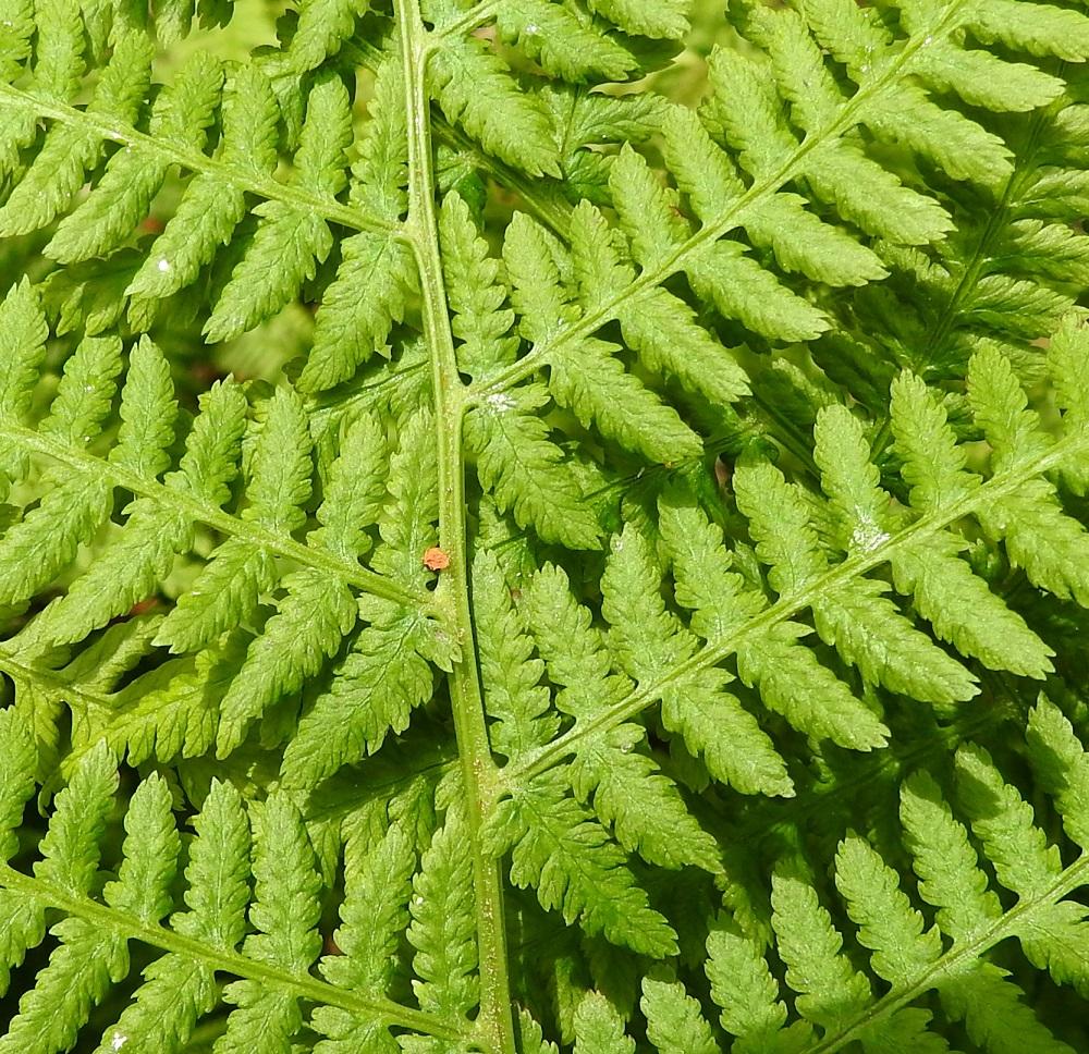 Athyrium filix-femina - soreahiirenportaan sivulehdyköiden pikkulehdykät ovat kapeanpuikeat tai lähes tasasoukat, ruodittomat ja tylppätyviset sekä parijakoisesti liuskaiset tai sahahampaiset. Ne ovat sivulehdykän tyviosassa vastakkain ja yleensä noin 9-11 mm pitkät ja noin 4-5 mm leveät. EH, Hämeenlinna, Loimalahti, Hirsimäki, omakotialueen ja maakaasulinjan välisen metsän hakkuuaukon laide, 16.6.2021. Copyright Hannu Kämäräinen.