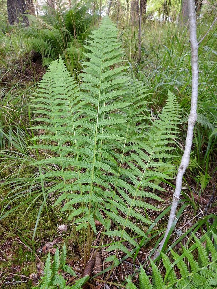 Athyrium filix-femina - soreahiirenportaan lehtilapa on vihreä tai vaaleanvihreä, leveänsuikea tai kapean vastapuikea ja pitkäsuippuisen teräväkärkinen. Se on tavallisesti noin 35-80 cm pitkä ja leveimmältä kohtaa noin 15-30 cm leveä sekä kahteen kertaan parilehdykkäinen. Sivulehdykät ovat kapeansuikeat tai pitkältä matkaa melkein tasasoukat ja kärjestään pitkäsuippuisen teräväkärkiset. Niiden pituus ja koko pienenevät sekä lehtilavan kärkeä että tyveä kohti. EH, Hämeenlinna, Loimalahti, Hirsimäki, omakotialueen ja maakaasulinjan välisen metsän hakkuuaukon laide, 30.7.2021. Copyright Hannu Kämäräinen.