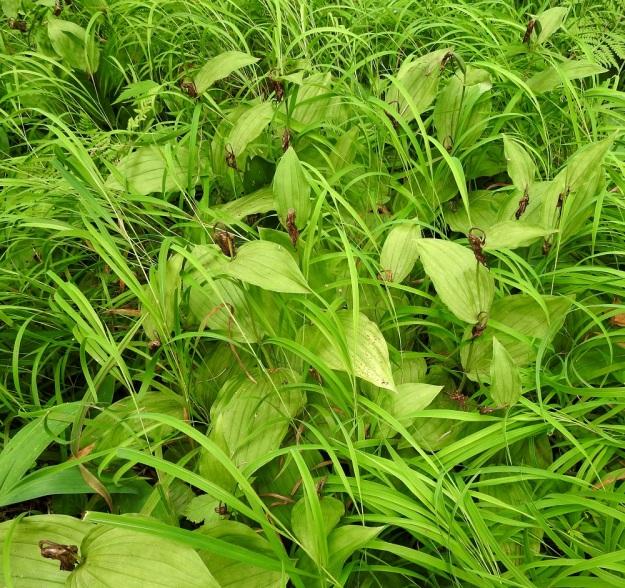 Cypripedium calceolus - lehtotikankonttiin kehittyy aika vähän siemenkotia. Virolaisessa 11 vuotta kestäneessä seurannassa vain 10,5 %:iin kukista kehittyi kota. Kuvassa näkyy ainakin 22 kukan jäänteet. Niistä vain kahteen on kehittynyt kota, joten tulos kuvan kasvupaikalla on seurantatutkimuksen kanssa samansuuntainen. Vähempikin kotamäärä varmasti riittää, sillä yksi kota voi sisältää 55 000 hyvin pientä siementä. U, Hyvinkää, 27.7.2021. Copyright Hannu Kämäräinen.