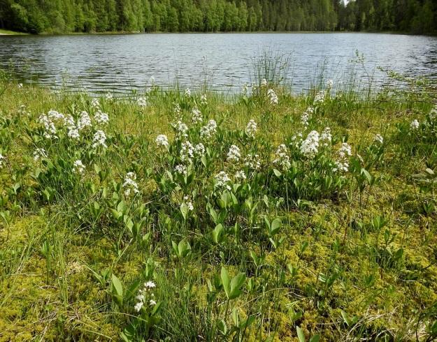 Menyanthes trifoliata - raate muodostaa riittävän märille soille ja rantasoistumille usein laajojakin kasvustoja. Se leviää tehokkaasti suikertavan ja haarovan juuristonsa avulla niin, että isokin alue voi olla yhtä ja samaa yksilöä. EH, Hämeenlinna, Pullerinmäki, Ahvenistonharjun juurella olevan Kahtoilammen rantasuo, 3.6.2021. Copyright Hannu Kämäräinen.