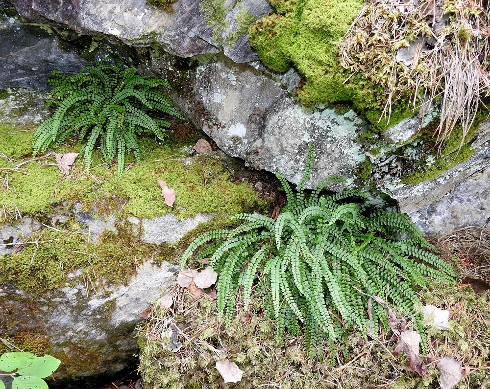 Asplenium trichomanes subsp. quadrivalens - tummaraunioinen subsp. kalkkitummaraunioinen ankkuroituu mielellään myös kalkkikallioseinämien rakoihin. V, Salo, Perniö, Lupaja, Alhonmäki, luonnonsuojelualue, vanha kalkkikivenlouhintakuoppa, 22.8.2021. Copyright Hannu Kämäräinen.