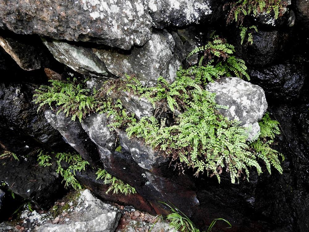 Asplenium adulterinum - serpentiiniraunioinen voi sopivan varjoisissa seinämäsyvänteissä, koloissa ja halkeamissa levittäytyä myös laajemmiksi, yhtenäisiksi kasvustoiksi ja kasvustonauhoiksi. Tätä edesauttaa maavarren kyky levittäytyä lyhyesti suikertamalla pitkin kasvualustaa. Tällöin yksilörajojen määrittely on hankalaa, ellei jopa mahdotonta. V, Salo, Suomusjärvi, Salittu, Ahvenlammentien varrella oleva kallioseinämä, luonnonsuojelualue, 23.8.2021. Copyright Hannu Kämäräinen.