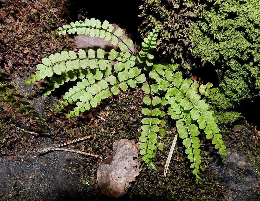 Asplenium adulterinum - serpentiiniraunioisen lehtilapa on kertaalleen parilehdykkäinen, tasasoukka tai hieman suikea ja kärkeä kohti suippeneva. Se on tavallisesti noin 7-14 cm pitkä ja leveimmältä kohtaa noin 0,8-1,5 cm leveä. V, Salo, Suomusjärvi, Salittu, Ahvenlammentien varrella oleva kallioseinämä, luonnonsuojelualue, 3.7.2021. Copyright Hannu Kämäräinen.