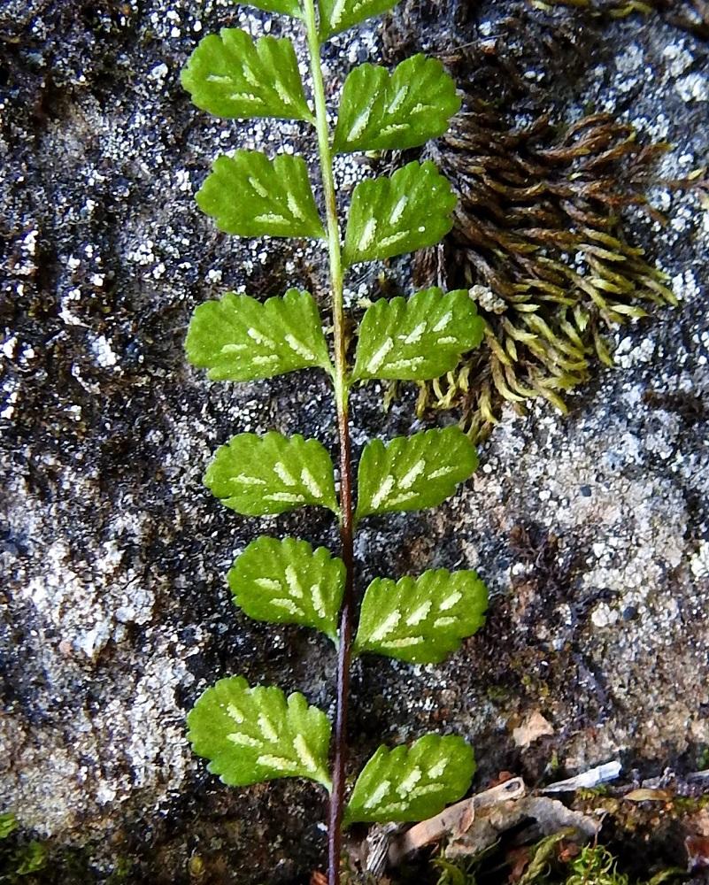Asplenium adulterinum - serpentiiniraunioisen itiöpesäkeryhmiä on yleisimmin 3-6 lehdykän alapinnan lehtisuonten sivuilla. Ne ovat ennen itiöintiä tasasoukkia ja enintään noin 2 mm pitkiä. Pesäkeryhmää peittää vaalea, kalvomainen katesuomu. V, Salo, Suomusjärvi, Salittu, Ahvenlammentien varrella oleva kallioseinämä, luonnonsuojelualue, 3.7.2021. Copyright Hannu Kämäräinen.