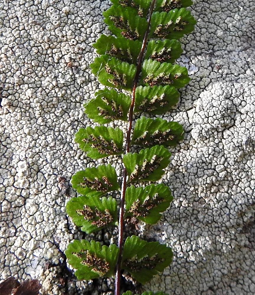 Asplenium adulterinum - serpentiiniraunioisen itiöpesäkeryhmiä peittävä katesuomu on muiden Suomen raunioisten tapaan kiinnittynyt vain toiselta sivultaan. Itiöiden kypsymisvaiheessa se avautuu ja kääntyy itiöpesäkeryhmän sivulle, johon se jää itiöinnin ajaksi Kypsät itiöpesäkkeet tummuvat ruskeiksi. V, Salo, Suomusjärvi, Salittu, Ahvenlammentien varrella oleva kallioseinämä, luonnonsuojelualue, 23.8.2021. Copyright Hannu Kämäräinen.