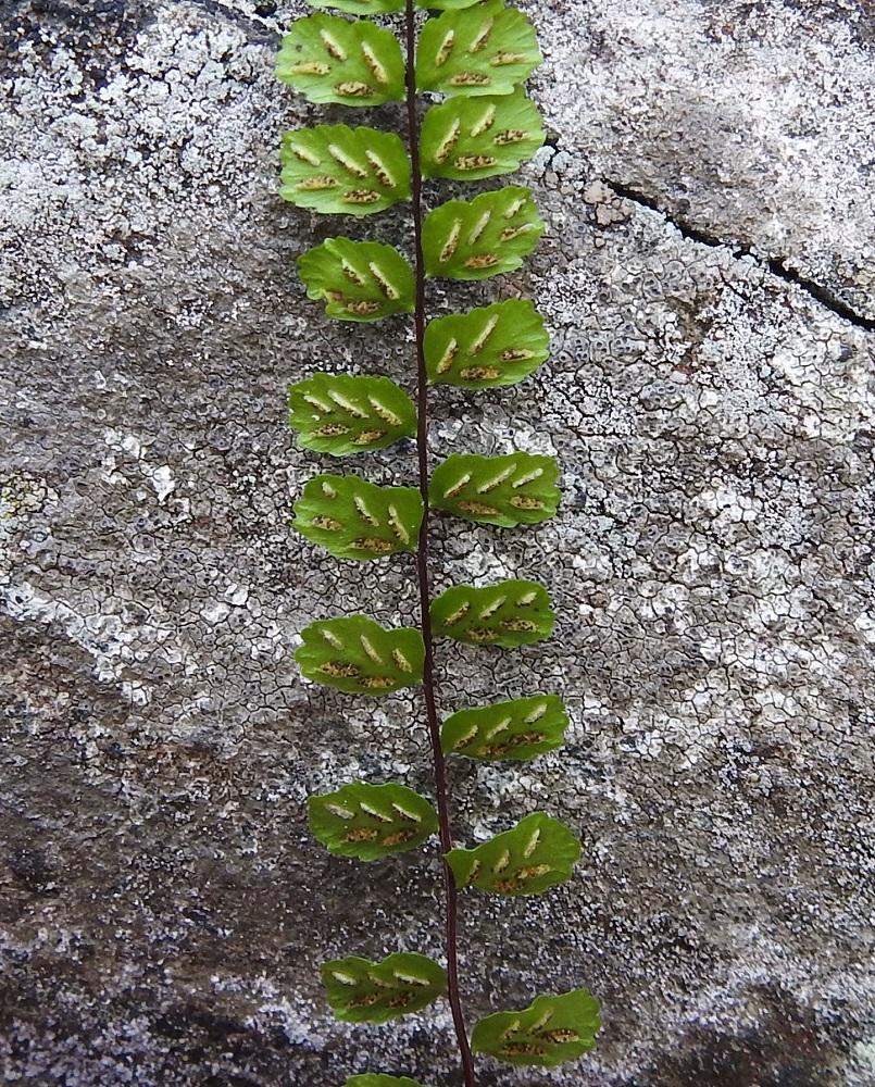 Asplenium trichomanes subsp. trichomanes - tummaraunioisen subsp. kalliotummaraunioisen itiöpesäkeryhmiä on yleisimmin 3-6 lehdykän alapinnan lehtisuonten sivuilla. Ne ovat ennen itiöintiä tasasoukkia, alle 0,5 mm leveitä ja enintään noin 2 mm pitkiä. Niitä peittää koko pesäkeryhmän mittainen, vaalea ja kalvomainen katesuomu, joka on kiinnittynyt lehdykän laidan puoleiselta reunaltaan. Suomu avautuu ja kääntyy kypsymisvaiheessa itiöpesäkeryhmän sivulle. V, Salo, Suomusjärvi, Salittu, Ahvenlammentien varrella olevat kallioseinämät, luonnonsuojelualue, 23.8.2021. Copyright Hannu Kämäräinen.