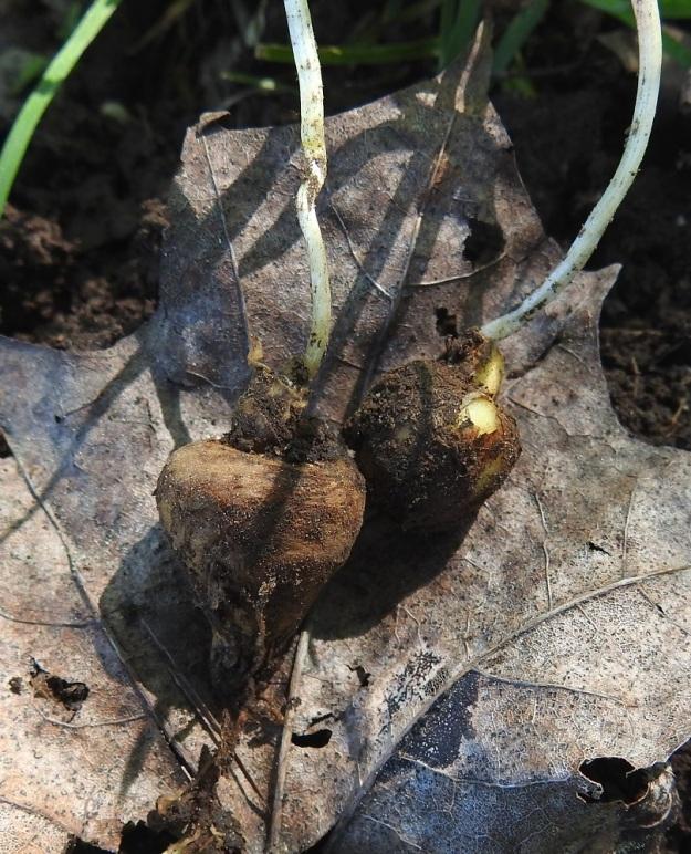 Corydalis solida - pystykiurunkannuksen juurakko on mukulamainen. Mukula on pallomainen, täyteinen ja noin 1-2,5 cm halkaisijaltaan. EH, Hattula, Sattula, Sattulantien laitametsikkö, 29.5.2021. Copyright Hannu Kämäräinen.