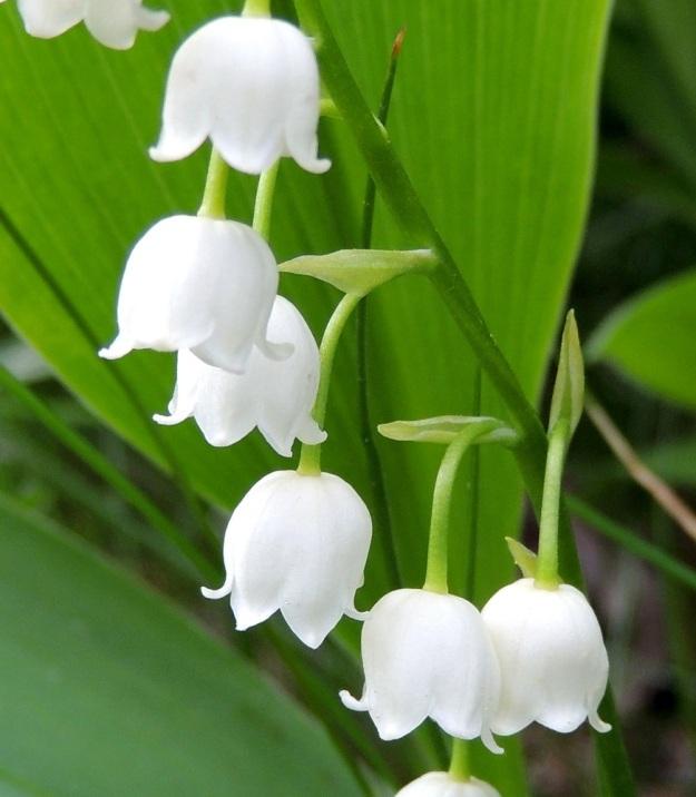 Convallaria majalis - (kello)kielon kukkien kehä on pallomaisen kupera, yhdislehtinen ja kärjestään kuusiliuskainen sekä noin 5-7 mm pitkä ja lähes samanlevyinen. Kärkiliuskat ovat kolmiomaiset tai pyöreähköt ja hieman ulospäin kaartuvat. Niiden osuus kehän pituudesta on noin 2 mm. Kukat ovat tukilehdelliset. Tukilehdet ympäröivät kukkaperää ja ovat laidoiltaan yleensä sisäänpäin kiertyneet. Ne ovat vihertävät tai vaalean kalvomaiset ja noin 2-8 mm pitkät. EH, Hämeenlinna, Ahvenisto, harjualueen laita Ahvenistontien pohjoispuolella, 24.5.2013. Copyright Hannu Kämäräinen.