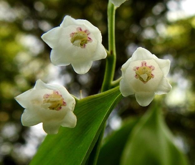 Convallaria majalis - (kello)kielon kukassa on kuusi noin 4 mm pitkää hedettä, jotka ovat. tyvestään kiinnittyneet kehään. Ponnet ovat kellanvihreät ja noin 2 mm pitkät. Emiön sikiäin on pallomainen ja halkaisijaltaan noin 2 mm. Emin vartalo on suora ja noin 2-3 mm pitkä. Luotti on tasaisen liuskaton. EH, Hämeenlinna, Vuorentaka Kurala, Lakeentien päästä lähtevän metsä- ja peltotien laide, 1.6.2019. Copyright Hannu Kämäräinen.