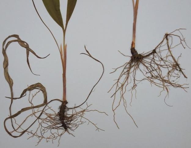Convallaria majalis - (kello)kielon pääjuurakko on pysty tai vino, vanhojen lehtisäikeiden peittämä ja runsasjuurinen. Pääjuuri kasvattaa vaakatasossa levittäytyviä, ohuita ja nivelkohdistaan haarovia, pitkiä maarönsyjä, joiden avulla laji levittäytyy tehokkaasti (näkyy oikealla olevassa juurakossa). Verson tyvellä on 4-5 kalvomaista, lavatonta ja ruskehtavaa tai sinipunertavaa alalehteä. Vasemmalla olevassa yksilössä on vielä jäljellä edellisen kasvukauden kuivuneita lehtipareja. EH, Hämeenlinna, Loimalahti, Kolkanmäki, harvahko kangasmetsä, 6.6.1988. Kuva näytteestä, copyright Hannu Kämäräinen.