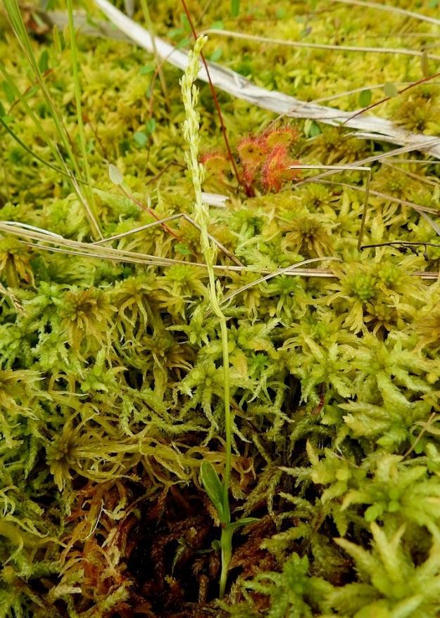 Hammarbya paludosa - suovalkku on varmasti vaikeimmin huomattava suomalainen kämmekkälaji. Se on kauttaaltaan vihreäsävyinen ja kasvaa usein puolipiilossa rahkasammaleen joukossa. Kuvan yksilöstäkin pisti vain kukintotähkä esiin sammalmättään keskeltä. Kuvausta varten mätästä on tilapäisesti raotettu. Kuvassa seuralaisina pyöreälehtikihokki, Drosera rotundifolia ja isokarpalo, Vaccinium oxycoccos. EH, Kangasala, Sahalahti, Isolahti, Mutajärvi-lammen rantaneva upottavan rimmen laidoilla, lähellä vesirajaa, 9.7.2021. Copyright Hannu Kämäräinen.