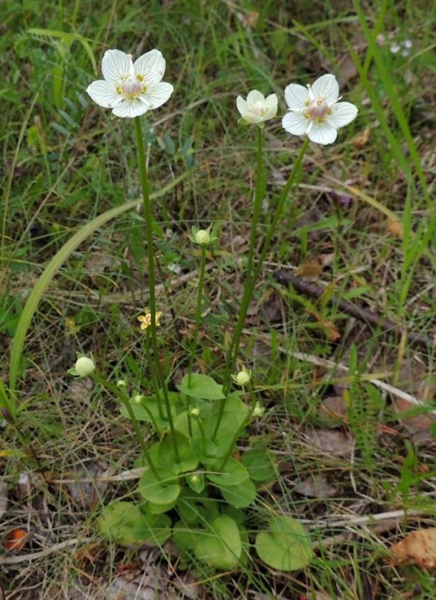 Parnassia palustris - suovilukko on pysty ja noin 5-25 cm korkea. Varret kasvavat yksittäin tai usein ryhminä. Ne ovat haarattomia ja pitkältä matkalta lehdettömiä. Kukat ovat yksittäin vartensa kärjessä. Tieteellisen ja suomalaisen nimensä mukaisesti suovilukko on märkien tai ainakin kosteiden paikkojen kasvi. Ilmeisesti kalkin voimalla kuvan yksilö on kelpuuttanut kasvupaikakseen vanhan tieuran. KP, Vimpeli, Koskelasta koilliseen oleva Kotakangas, entinen kalkkilouhosalue, louhosaltaan reunaa kulkeva vanha tieura, 18.7.2015. Copyright Hannu Kämäräinen.