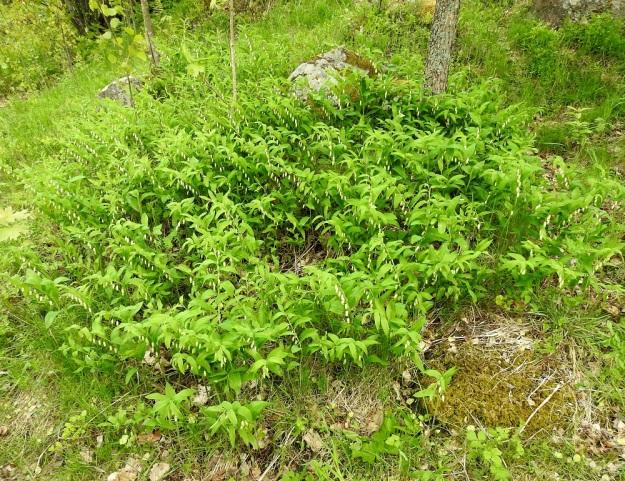 Polygonatum odoratum - kalliokielo muodostaa hyville kasvupaikoille tiheitä ja laajojakin kasvustoja, jotka syntyvät kasvullisesti juuriston levittäytyessä. V, Turku, Raunistula, koulun urheilukentän pohjoispuolella oleva avokallioinen kumpare, 28.5.2021. Copyright Hannu Kämäräinen.